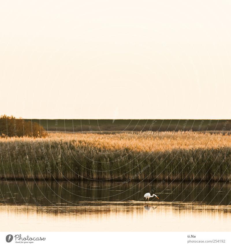 Silberreiher Natur Wasser weiß Pflanze Tier gelb Herbst Umwelt Landschaft Küste Vogel elegant ästhetisch Wildtier Sträucher Seeufer