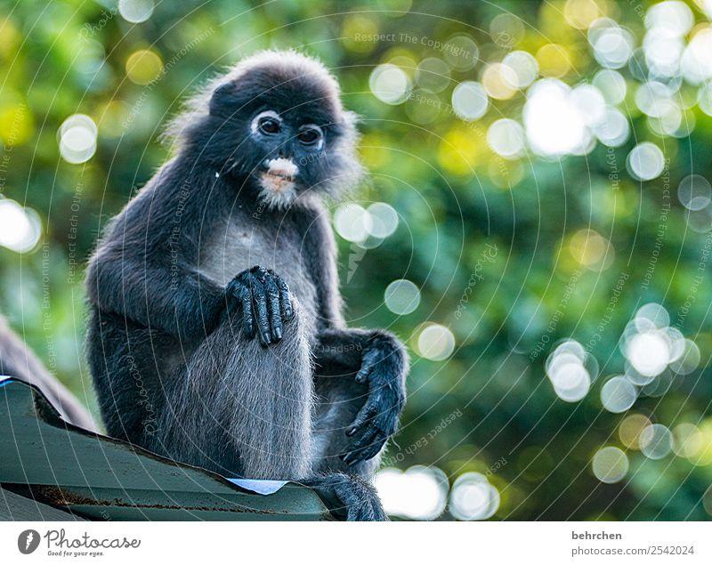 lässiges wochenende Ferien & Urlaub & Reisen Tourismus Ausflug Abenteuer Ferne Freiheit Urwald Wildtier Tiergesicht Fell Affen brillenlangur 1 Erholung