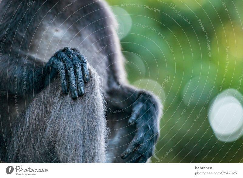 detailverliebt Ferien & Urlaub & Reisen Tourismus Ausflug Abenteuer Ferne Freiheit Natur Wildtier Fell Affen brillenlanguren 1 Tier Erholung außergewöhnlich