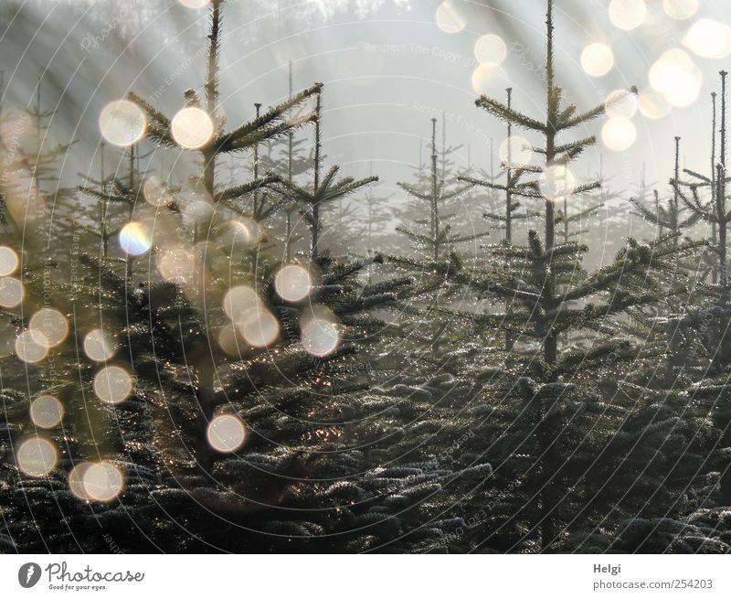 Tannenbäume im Morgennebel mit Gegenlicht und Lichtpunkten Umwelt Natur Pflanze Himmel Herbst Nebel Eis Frost Baum Nutzpflanze Fichte Schonung Weihnachtsbaum