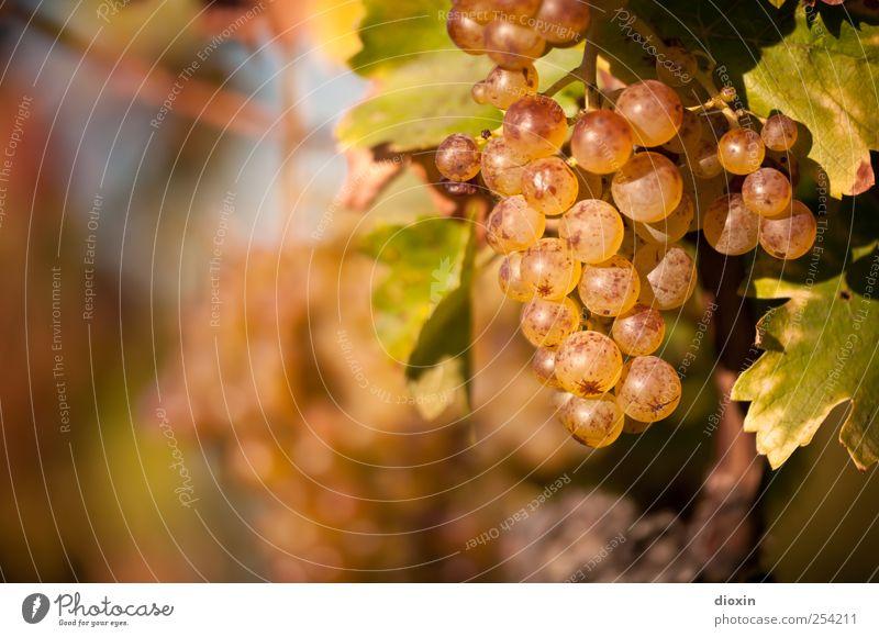 Spätlese [2] Natur Pflanze Blatt Herbst Umwelt Wachstum süß Wein Landwirtschaft lecker genießen Alkohol saftig Sekt Forstwirtschaft Weintrauben