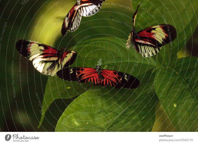 Paarungstanz mehrerer Klaviertastenschmetterlinge Heliconius melpomene Garten Tanzen Natur Tier Pflanze Blatt Wildtier Schmetterling Flügel 4 grün rot schwarz