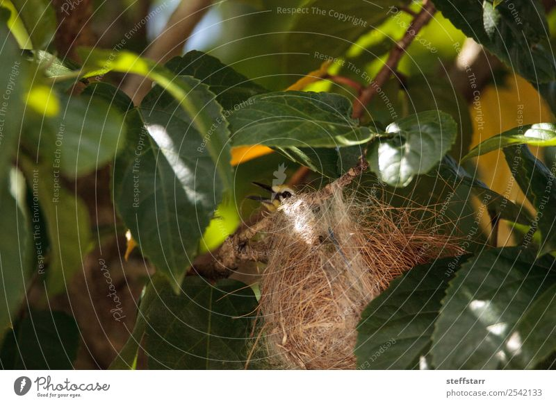Verschachtelung japanischer Weißaugen Zosterops japonicas Natur Baum Blatt Tier Wildtier Vogel Flügel 1 Nest Nestbau Japanische Weißaugen