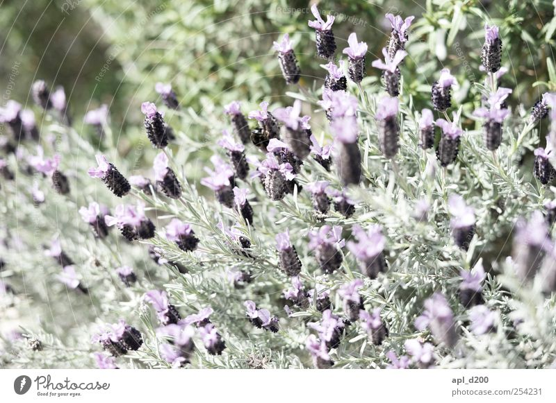 Lila, Lila Natur Pflanze Frühling Blüte Wildpflanze Duft natürlich grün violett Zufriedenheit Lebensfreude Blume Farbfoto Gedeckte Farben Außenaufnahme
