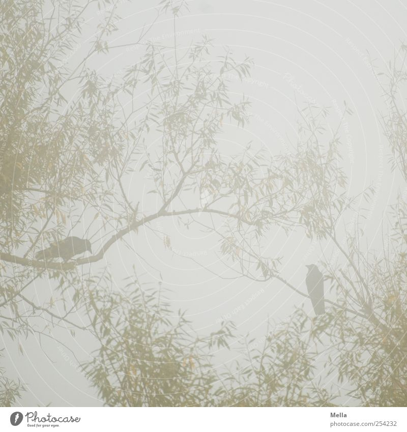 Krähenliebe Umwelt Natur Pflanze Tier Nebel Baum Ast Weide Vogel 2 hocken sitzen natürlich grau Zusammensein paarweise Tierpaar Farbfoto Außenaufnahme