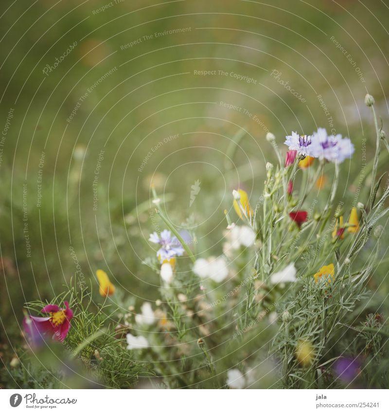 wildblumenbienenwiese Natur schön Pflanze Blume Sommer Wiese Umwelt Gras Blüte Wildpflanze