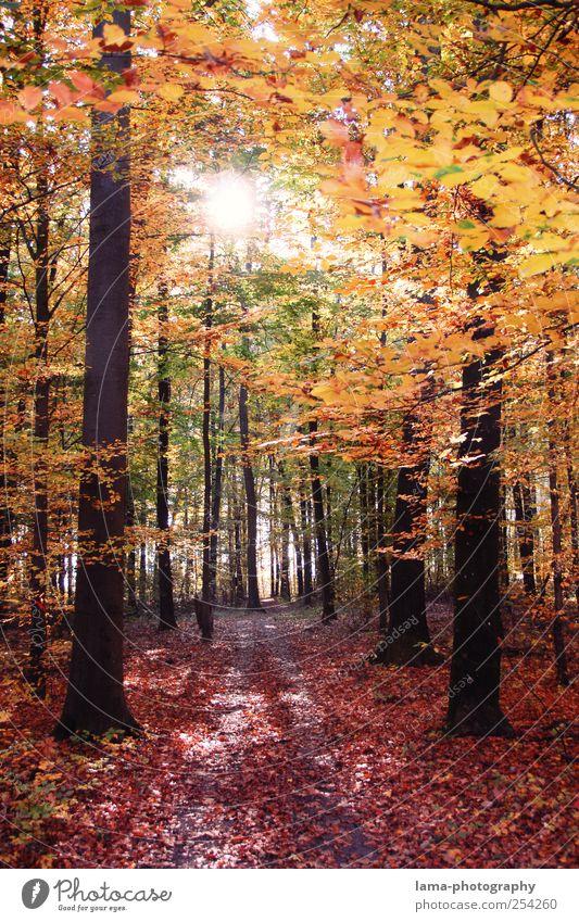 blattwerk orange Sonnenlicht Herbst Schönes Wetter Baum Wald Herbstwald Herbstlaub Herbstlandschaft herbstlich Herbstfärbung Laubwald Blatt leuchten gelb gold