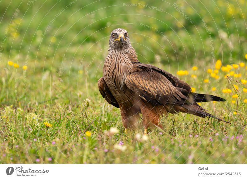 Schöner schwarzer Drachen für Erwachsene elegant schön Freiheit Natur Tier Gras Vogel Flügel fliegen frei natürlich niedlich wild gelb gold rot weiß Tierwelt