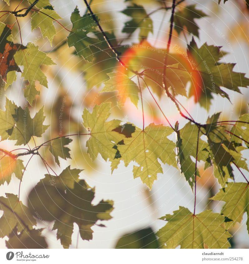 Lichtring Natur schön Baum Pflanze Blatt Herbst Umwelt Schönes Wetter Lichtspiel Ahorn Ahornblatt Zweige u. Äste Blendenfleck Blendeneffekt Warme Farbe