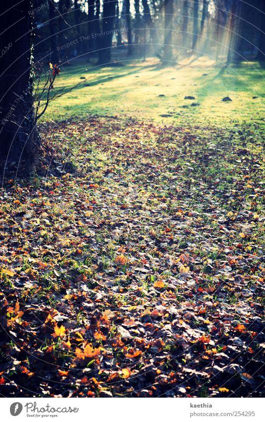 hänsel und gretels weg Umwelt Natur Landschaft Pflanze Erde Herbst Baum Gras Sträucher Moos Farn Park Wiese Feld Wald braun gold grün Baumstamm Romantik Nebel