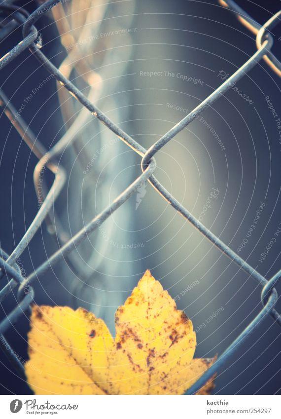 fallin´ Natur Pflanze Herbst Klimawandel Blatt Metall Rost fallen hängen gelb gold grau Ahorn Ahornblatt Herbstlaub Zaun Beleuchtung glänzend Farbstoff
