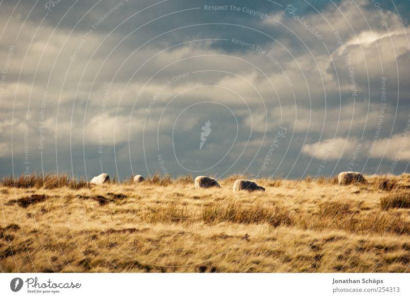 Peak District V Umwelt Natur Landschaft Pflanze Tier Himmel Wolken Horizont Sommer Herbst Klima Wetter Schönes Wetter Feld blau braun gelb gold Schaf Weide