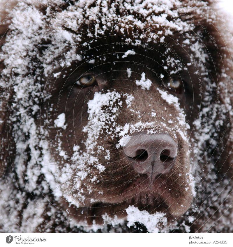 Zum verlieben... Hund Tier Auge Tierjunges Tiergesicht Fell Wachsamkeit Säugetier Haustier Schnauze Treue Schneeflocke Welpe Schnee Haushund