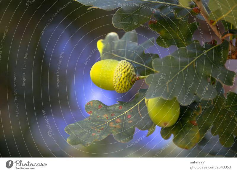 Eicheln Natur Herbst Pflanze Baum Blatt Ast Zweig Stiel-Eiche Wald blau grün Frucht Farbfoto Außenaufnahme Nahaufnahme Menschenleer Textfreiraum links Licht