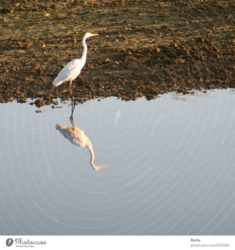 Weißbraunblau Natur Wasser schön ruhig Tier Umwelt Freiheit See Vogel gehen frei natürlich stehen einzeln Seeufer