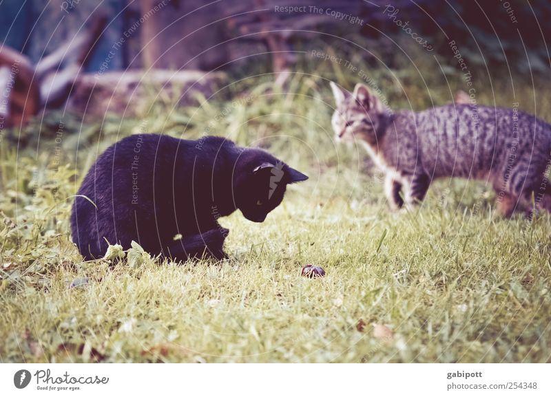 Die Welt entdecken Katze Natur Freude Tier Tierjunges Wiese Bewegung Wege & Pfade Spielen Garten Zufriedenheit Tierpaar laufen frei Wachstum niedlich