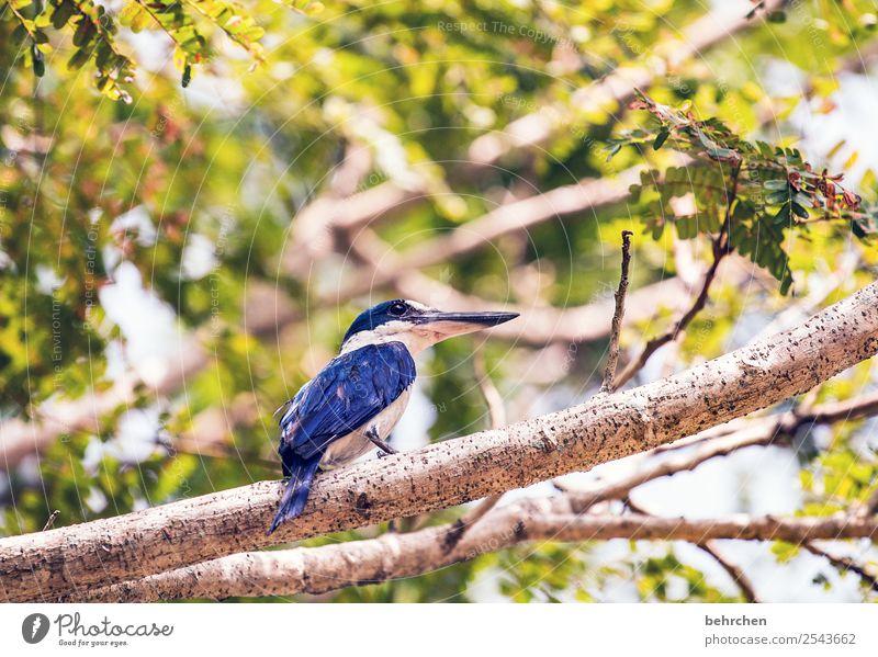 beobachter Malaysia Blätter Baum Ast Eisvögel kingfisher blau Ausflug Tourismus Ferne Freiheit Ferien & Urlaub & Reisen Abenteuer Natur Landschaft Wildtier