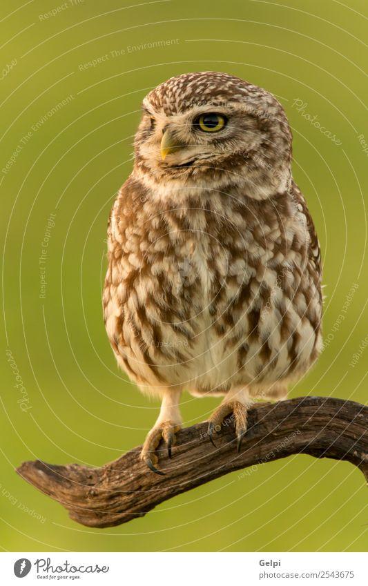 Vogel schön Natur Tier Wald Flügel klein lustig natürlich niedlich wild braun gelb gold grün schwarz weiß Tierwelt Waldohreule Beute Raubtier sonnig Ast Jäger