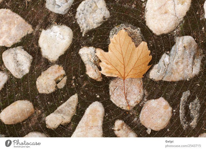Herbstfarben Design schön Dekoration & Verzierung Natur Pflanze Blatt Park Wald Stein natürlich braun Farbe Ahorn fallen Hintergrund Jahreszeiten saisonbedingt