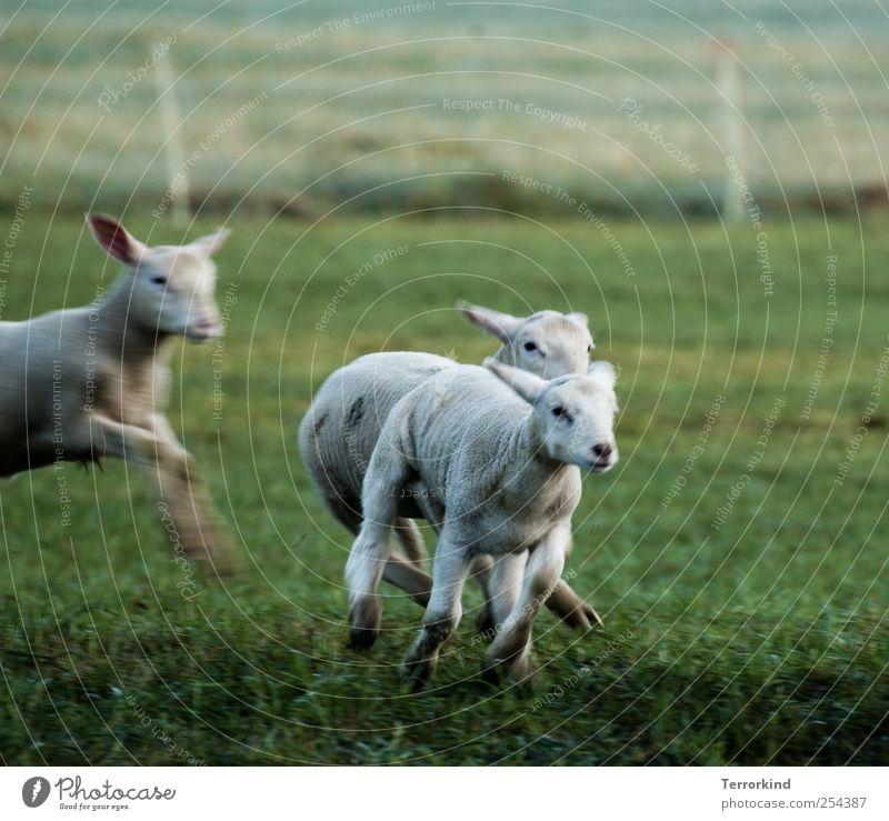 Chamansülz | you.better.run Schaf Lamm rennen laufen Spielen schlagen fangen Wiese grün saftig Morgen Bewegung klein weiß Fell weich öhrchen.