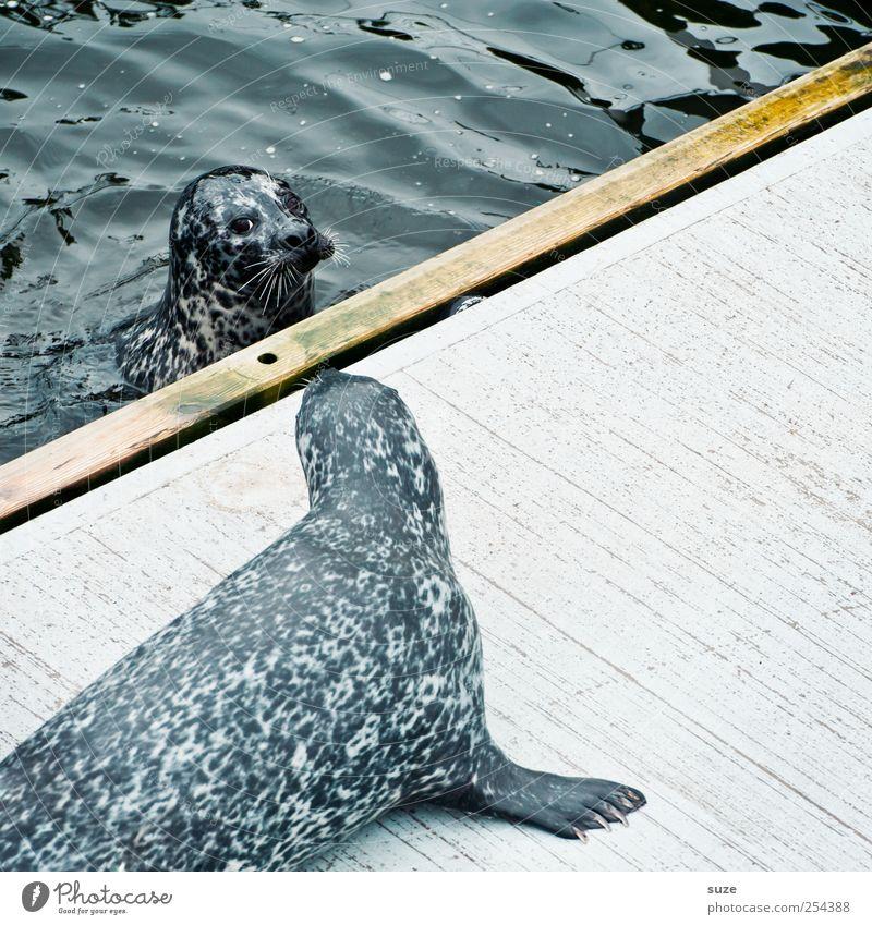 Ich bin dein Vater Schwimmen & Baden Meer Wellen Natur Tier Wasser Wildtier Tiergesicht 2 Tierpaar beobachten Neugier niedlich wild blau Robben Seehund Kopf