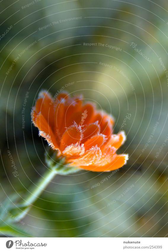 calendula friert Natur grün rot Pflanze Winter Blume ruhig kalt Herbst Blüte Eis frisch leuchten Frost Blühend Duft