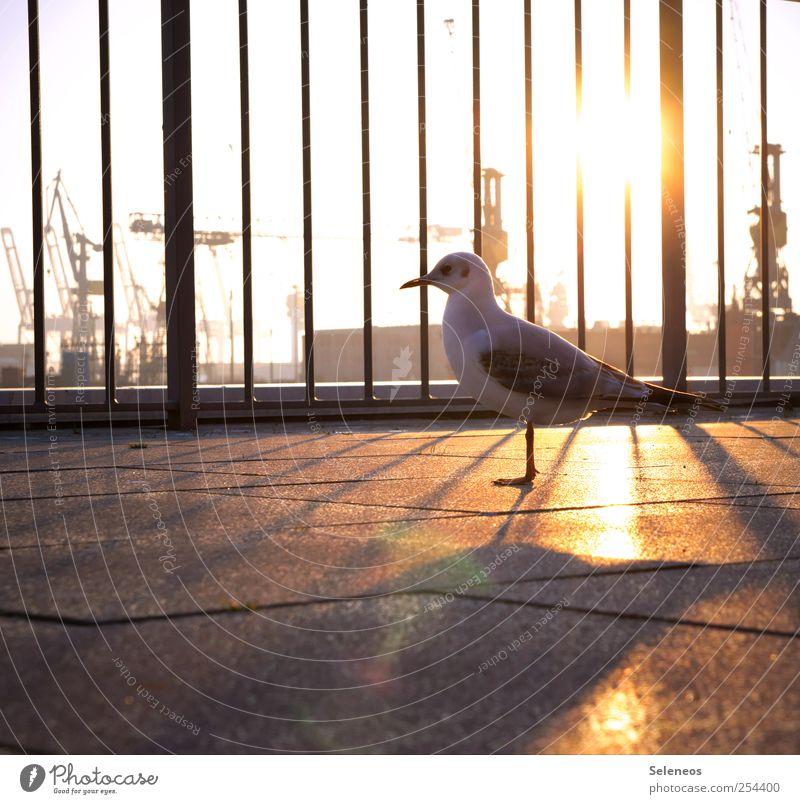 abendliches Sonnenbad Natur Ferien & Urlaub & Reisen Tier Umwelt Freiheit Vogel Hamburg Wildtier stehen Flügel Tiergesicht Hafen Geländer Möwe Schifffahrt