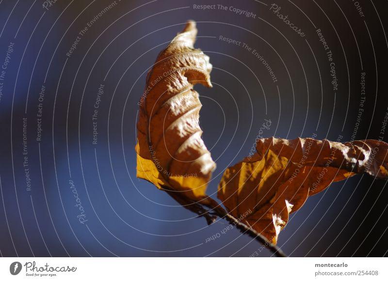Mit Schwung Umwelt Natur Pflanze Herbst Schönes Wetter Wind Baum Blatt Grünpflanze Wildpflanze alt authentisch trocken blau braun schwarz Stimmung Farbfoto