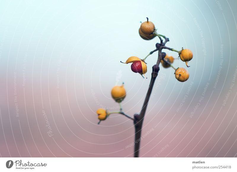 Eröffnung Pflanze rot gelb rosa Frucht frei Sträucher Kugel Schönes Wetter platzen Fruchtstand