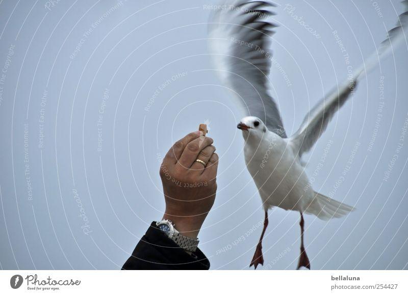 Raubtierfütterung Himmel Mann Hand Tier Vogel fliegen Wildtier Uhr Flügel Kontakt Tiergesicht Ring Möwe Wolkenloser Himmel ködern Anschnitt