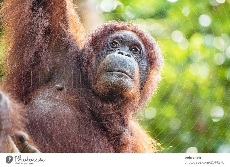 menschlich Ferien & Urlaub & Reisen Tourismus Ausflug Abenteuer Ferne Freiheit Wildtier Tiergesicht Fell Orang-Utan Affen 1 beobachten außergewöhnlich schön