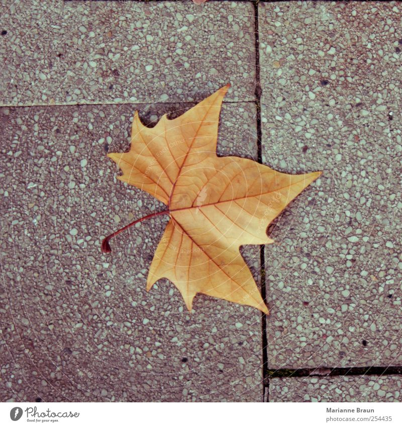 Und noch eins rot Blatt gelb Herbst grau Beton Spitze einzeln Bürgersteig Jahreszeiten Fuge Herbstlaub November Ahorn Blattadern herbstlich