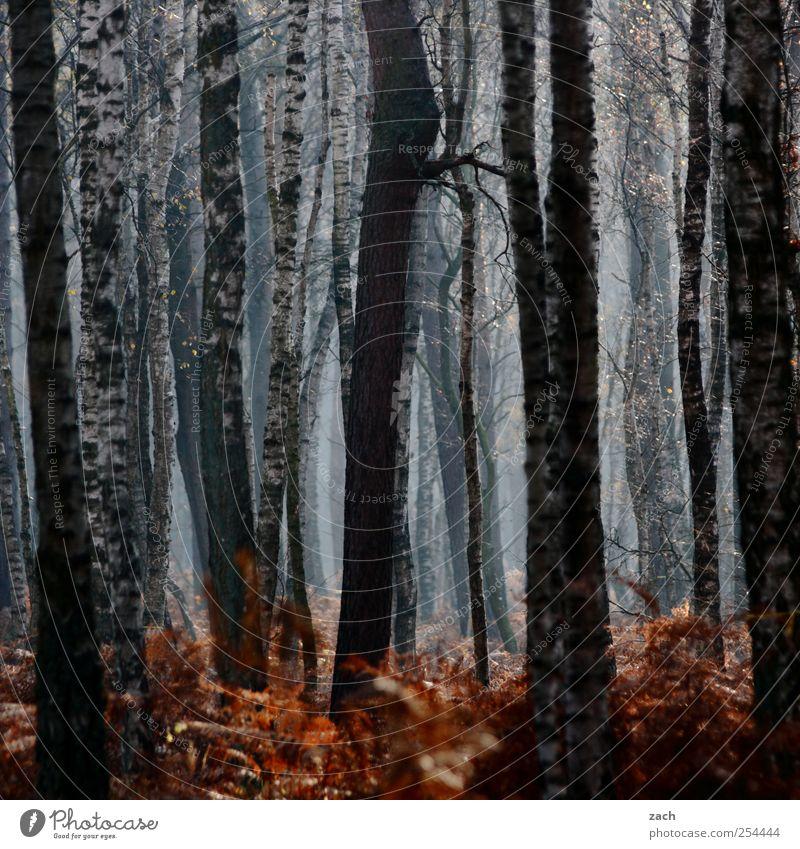 Herbst Umwelt Natur Landschaft Pflanze schlechtes Wetter Nebel Regen Baum Farn Birke Wald dunkel braun weiß Verfall Baumstamm Dunst Farbfoto Außenaufnahme