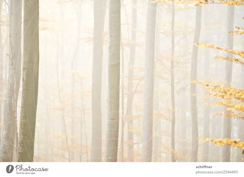 unscharf|er Wald I Umwelt Natur Herbst schlechtes Wetter Nebel Pflanze Baum gelb Herbstwald hell diffus Außenaufnahme Menschenleer