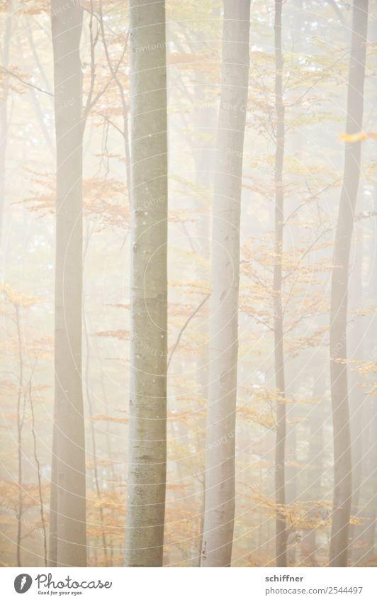 unscharf|er Wald II Natur Herbst schlechtes Wetter Nebel Pflanze Baum gelb Herbstwald hell diffus Menschenleer
