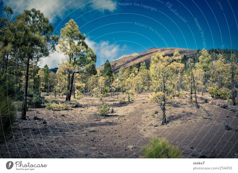 no grass land Landschaft Himmel Wolken Wald Felsen Gipfel Wege & Pfade wandern trocken blau braun grün karg Teneriffa Pinie Lavafeld Teide Farbfoto
