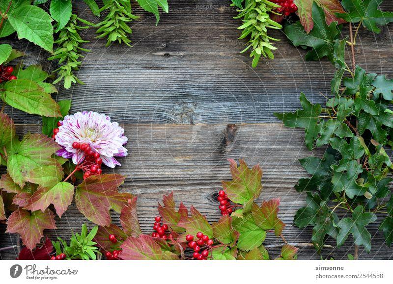 buntes Laub auf Holz Hintergrund Basteln Sommer Natur Pflanze Herbst Blume Blatt blau rot Hintergrundbild Beeren Viburnum Buche Dahlien buntfrüchte Ernte