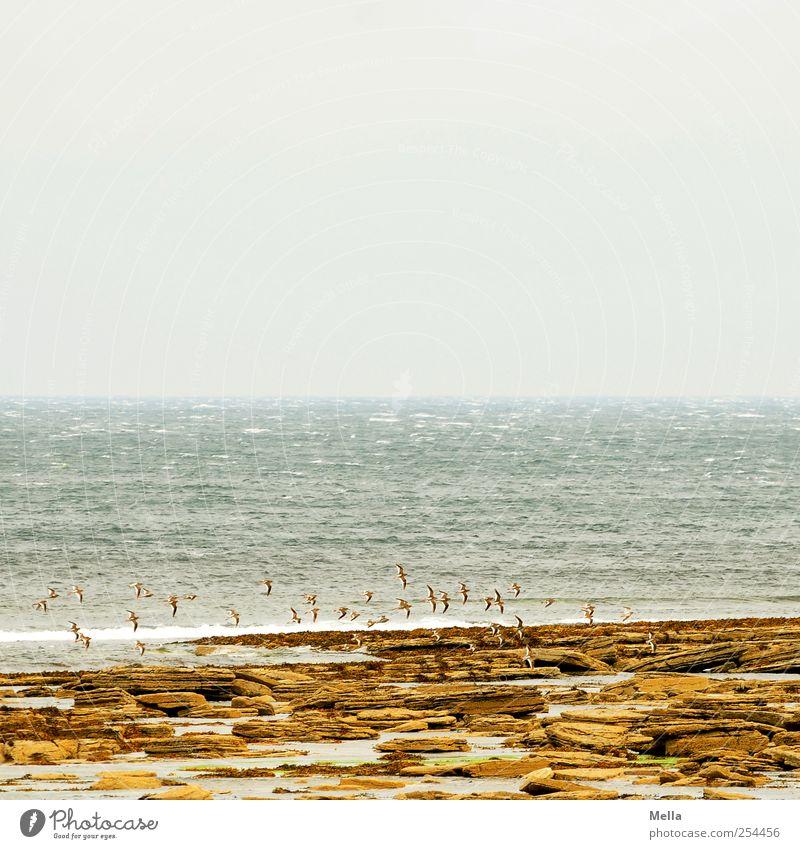 Nordküste Umwelt Natur Landschaft Wasser Felsen Küste Meer Vogel Schwarm fliegen Ferne Unendlichkeit natürlich Stimmung Fernweh Horizont