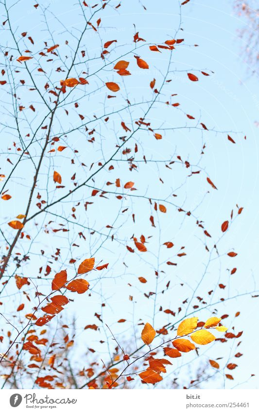 schwungvoll durch den Herbst Himmel Natur blau Pflanze Baum Erholung ruhig Blatt gelb Herbst Garten braun Park leuchten Sträucher Dekoration & Verzierung