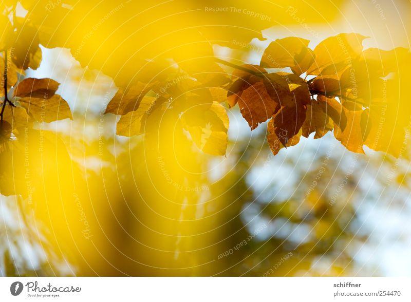 Farbrausch IV Baum Pflanze Farbe Blatt gelb Herbst braun leuchten Schönes Wetter Herbstlaub herbstlich Herbstfärbung Laubbaum Blätterdach Herbstwald