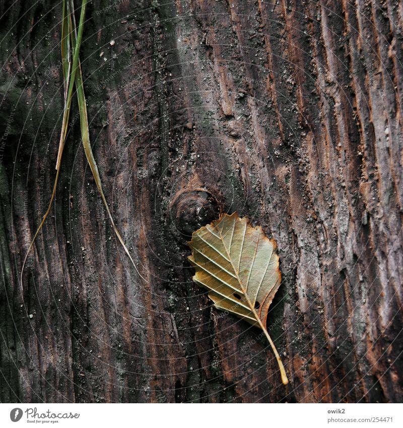 Altes Blatt Umwelt Natur Pflanze Urelemente Gras Holz liegen verblüht dehydrieren dunkel dünn einfach klein nah natürlich trist wild ruhig bescheiden sparsam