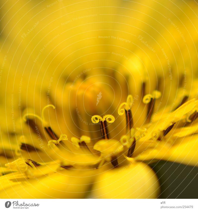 gelbes Wunder Natur schön Pflanze Blume gelb Garten Blüte elegant ästhetisch außergewöhnlich leuchten Blühend exotisch Spirale Pollen Fühler