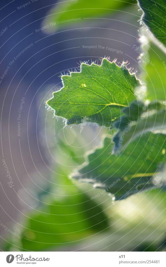 Wintersonne Natur Pflanze Herbst Blatt Wildpflanze ästhetisch außergewöhnlich elegant exotisch Fröhlichkeit glänzend hell kalt Spitze stachelig blau grün