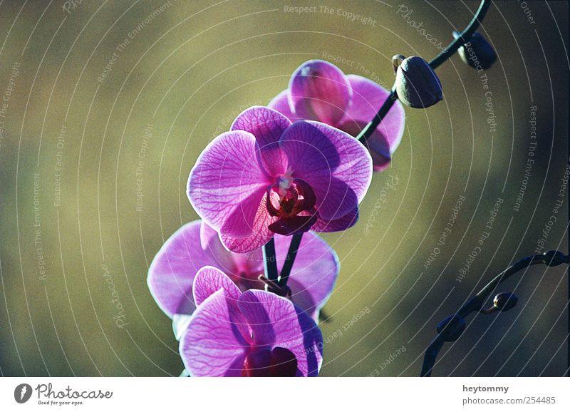 Orchidee elegant exotisch Freude Glück schön Wohlgefühl Zufriedenheit Erholung Duft Umwelt Natur Landschaft Pflanze Sonnenlicht Frühling Sommer Herbst Blume