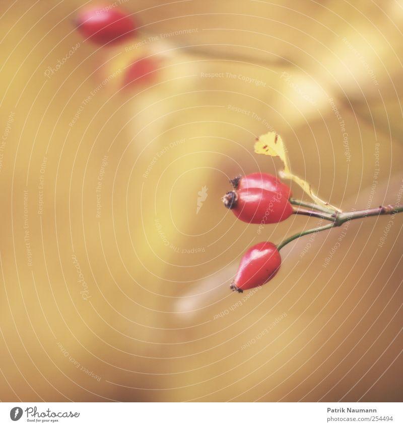 Hagebutte Natur rot Pflanze gelb Herbst gold Frucht elegant natürlich ästhetisch Sträucher rund Ast Schönes Wetter nah Blühend
