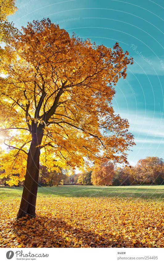Naturblond Umwelt Landschaft Pflanze Himmel Herbst Klima Wetter Schönes Wetter Baum Park Wiese schön blau gelb gold herbstlich Herbstbeginn Herbstlaub Oktober