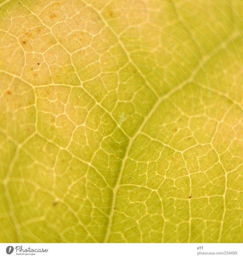 Struktur der Natur Umwelt Pflanze Baum Blatt glänzend leuchten außergewöhnlich dünn eckig elegant fantastisch natürlich gelb leicht Herbst Herbstlaub