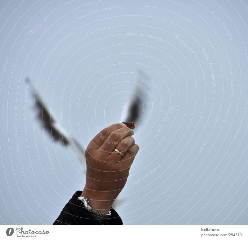 Auf der Pirsch Hand Tier Vogel fliegen Wildtier Finger Flügel Ring Möwe ködern füttern Möwenvögel Ehering Brotkrümel Vor hellem Hintergrund