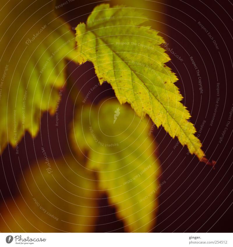 Zackig durch den Herbst Umwelt Natur Pflanze Sträucher Blatt Grünpflanze dehydrieren grün-gelb Zacken Blattadern Blattgrün ausgefranst verwandeln Jahreszeiten