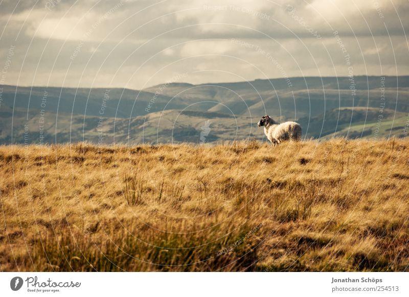 Peak District VIII Natur Pflanze Einsamkeit Landschaft Tier Berge u. Gebirge Umwelt Wiese Gras natürlich Freiheit braun Aussicht genießen Klima Schönes Wetter